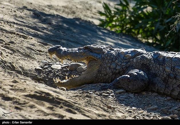 34314 447 - کمک ماموران محیط زیست به تمساح سرگردان در شهر