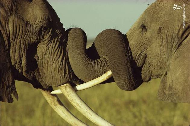 37911 696 - تولد نخستین فیل در تهران