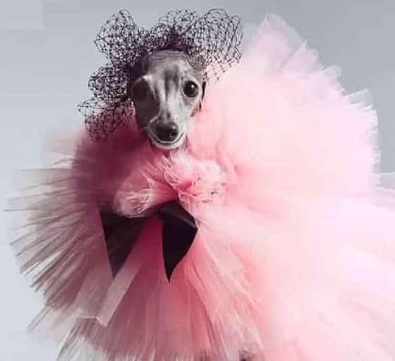 4054.8 - تیکا سگ خوش پوش در مراسم اسکار - سرگرمی