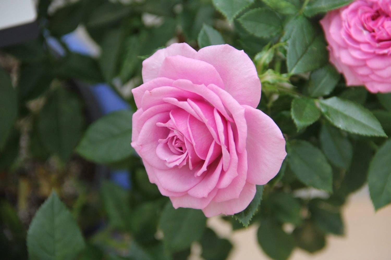 French rose 9 - پرورش گل رز فرانسوی و آموزش طریقه کاشت و تکثیر این گیاه