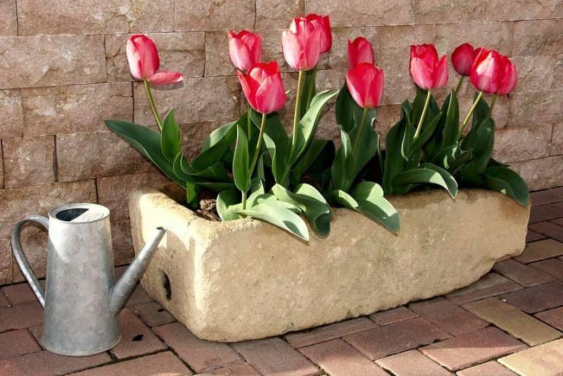Tulip seedling - آموزش کاشت گل لاله در منزل و پروش این گل زیبا