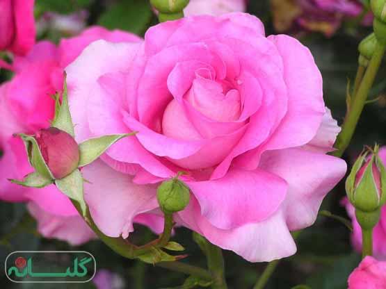interpretation dream Flower hazrat yousef 1 - تعبیر خواب گل حضرت یوسف