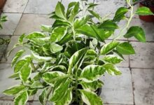 PEDILANTUS 2 1 768x768 1 220x150 - پرورش، نگه داری و تکثیر گل پدیلانتوس