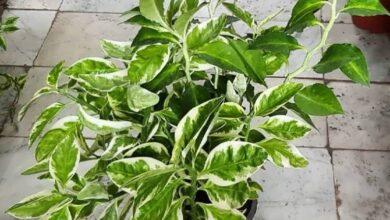 PEDILANTUS 2 1 768x768 1 390x220 - پرورش، نگه داری و تکثیر گل پدیلانتوس