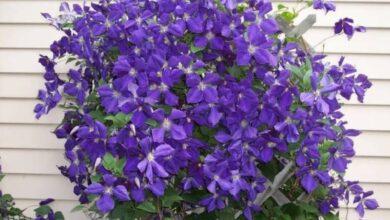 Cultivation of clematis flowers 390x220 - پرورش گل کلماتیس و اصول نگهداری این گیاه رونده